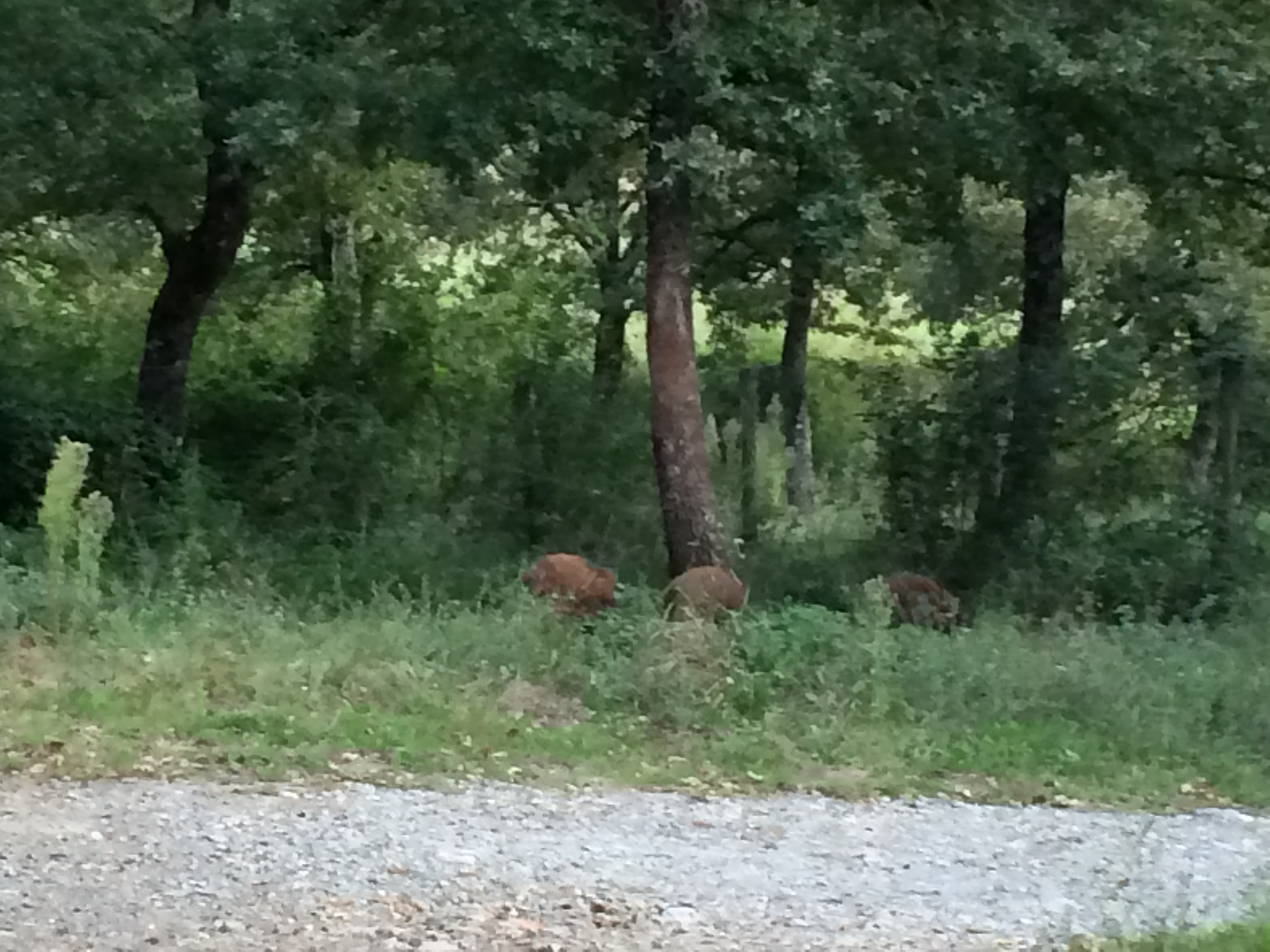 cinghiale in the woods